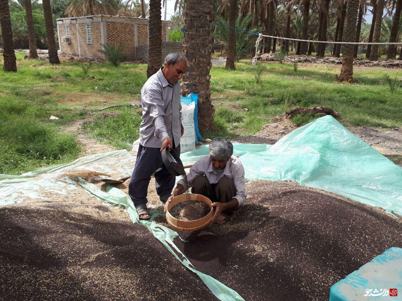 /بماند/ چوب حراج بر محصول کشاورزان جیرفتی/ وقتی دانشجویان صدای کشاورزان میشوند