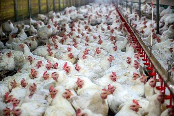 رئیس سازمان دامپزشکی کشور: آنفلوانزای فوق حاد پرندگان در کشور تحت کنترل است