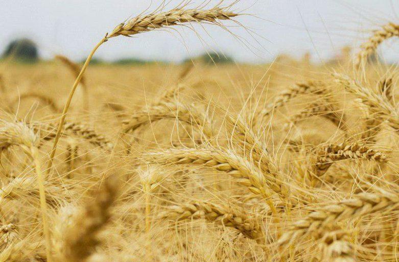 صعود قیمت گندم در بازارهای جهانی