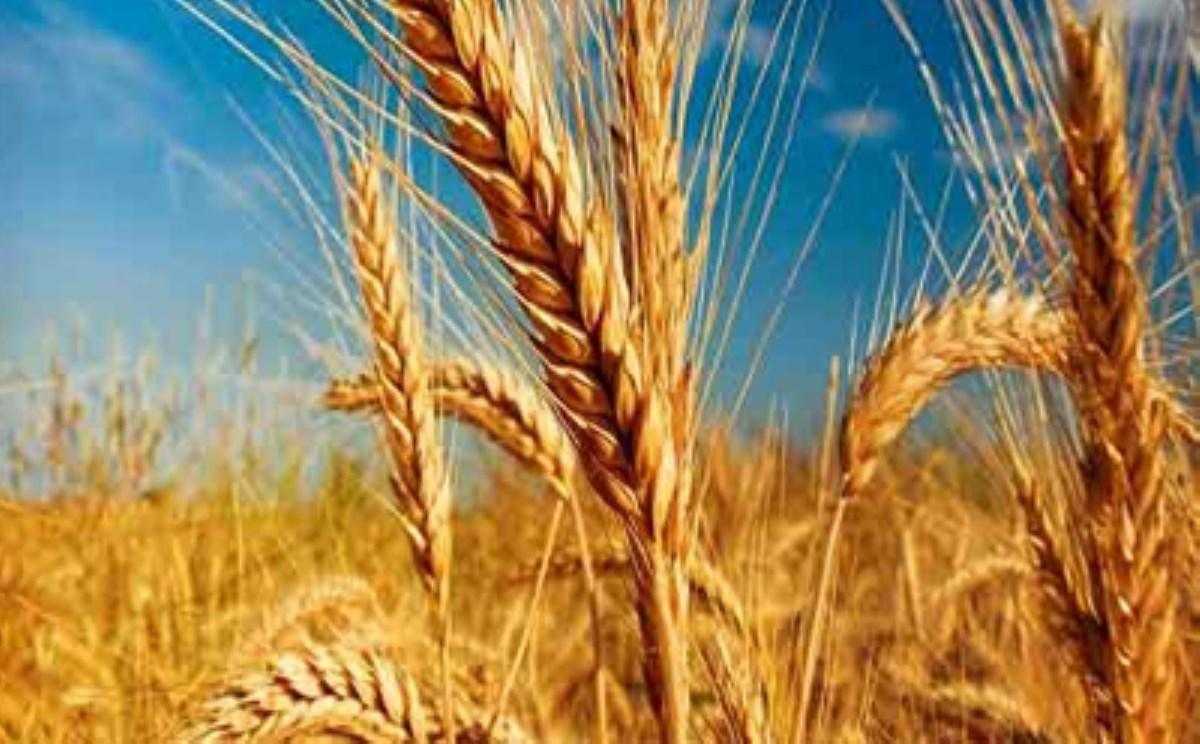 دولت به کشاورز خارجی یارانه میدهد / واردات گندم به قیمت 6 هزار تومان