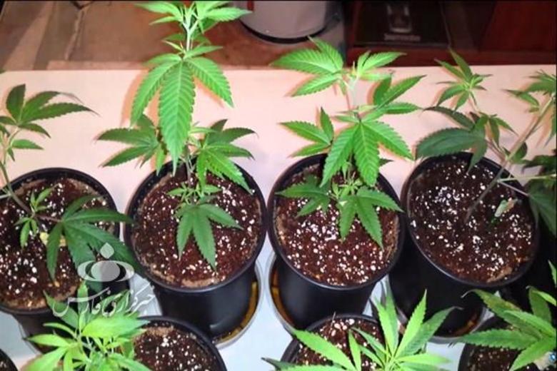 کاشت گلخانهای ماده مخدر «گل»